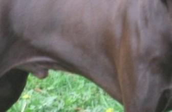 Описание породы ягдтерьер и особенности охоты с ним