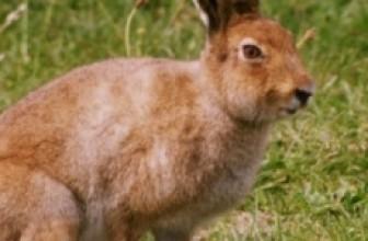 Охота на зайца, в тч зимой + видео